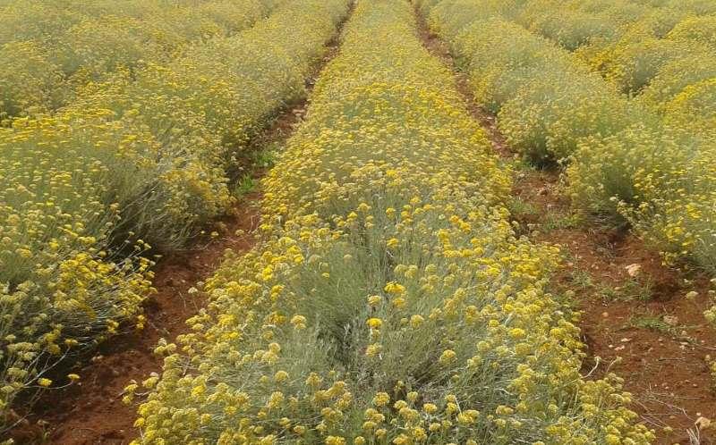 Uzgoj smilja, sadnja bilja i prodaja